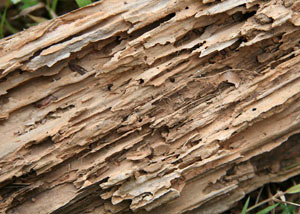 Termite-damaged wood showing rotting galleries outside of a Hanahan home